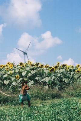アクア、ひまわり畑と風車@郡山布引風の高原