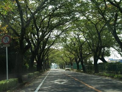 夜ノ森、初秋の桜トンネル(富岡町)