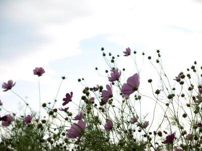 猪苗代ハーブ園のコスモス畑