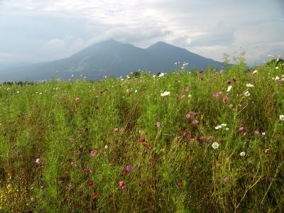 猪苗代ハーブ園のコスモス畑と磐梯山