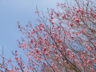 梅@さくらの公園(三春町、さくら湖)