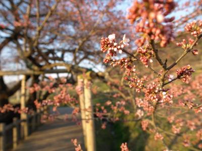 石部桜(2009/04/09)