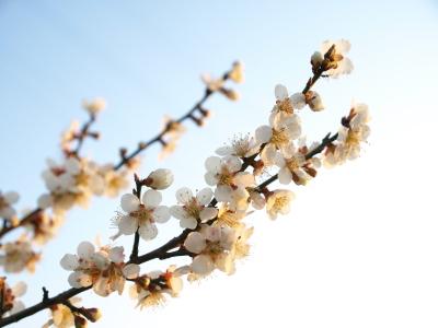 梅。石部桜(2009/04/09)付近にて。