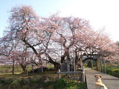 リックス君@石部桜(2009/04/11)