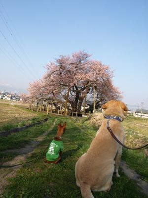 リックス君&アクア@石部桜(2009/04/11)