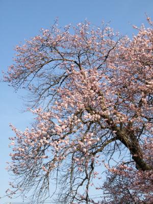 石部桜(2009/04/11)