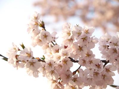 若松城三の丸堀跡の高遠小彼岸桜
