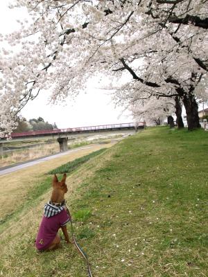 アクア@宮川の千本桜_2009/04/17