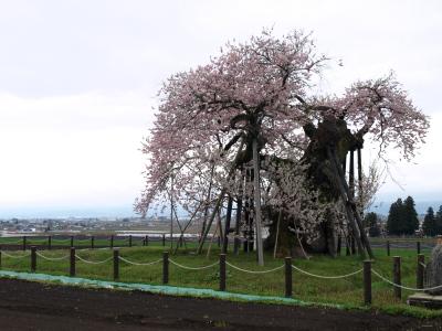 米沢の千歳桜