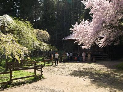 杉の糸桜、会津枝垂、薬師堂、薬王寺八重