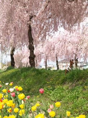 アクア@日中線記念自転車歩行者道のしだれ桜並木
