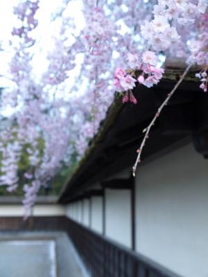茶室麟閣の枝垂れ桜@鶴ヶ城公園
