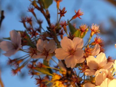 鶴ヶ城公園の桜ライトアップ