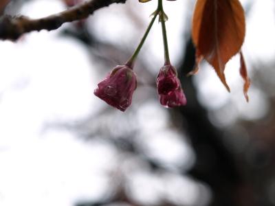 日中線記念館(旧熱塩駅)の鞠桜