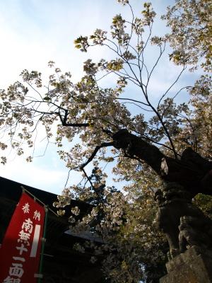 虎ノ尾桜@法用寺_2009/04/28