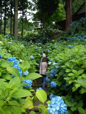 高林寺の紫陽花
