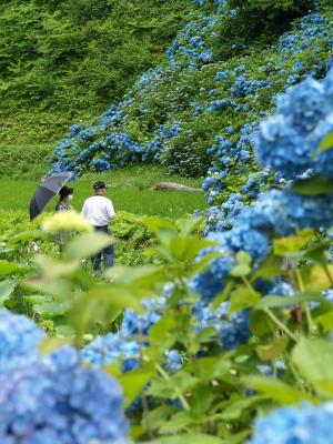 高林寺向かいの土地の紫陽花
