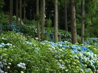 「杉沢の大杉」周囲のアジサイ