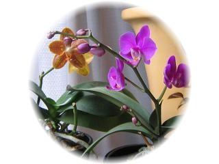 胡蝶蘭 2種
