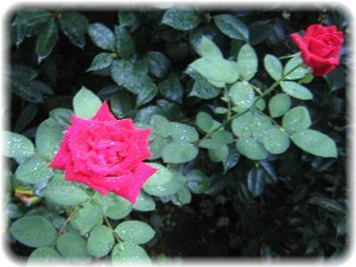 遅咲きのバラ
