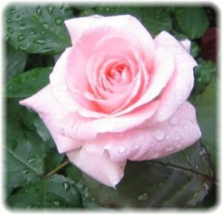 やっと咲いたブライダルピンク