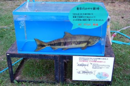 豊平川第1号サケ2009