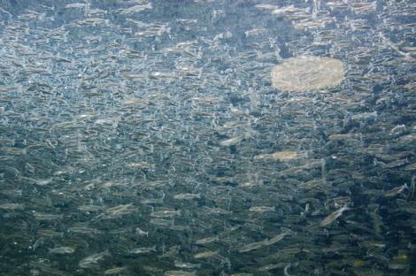 サケ稚魚の群れ