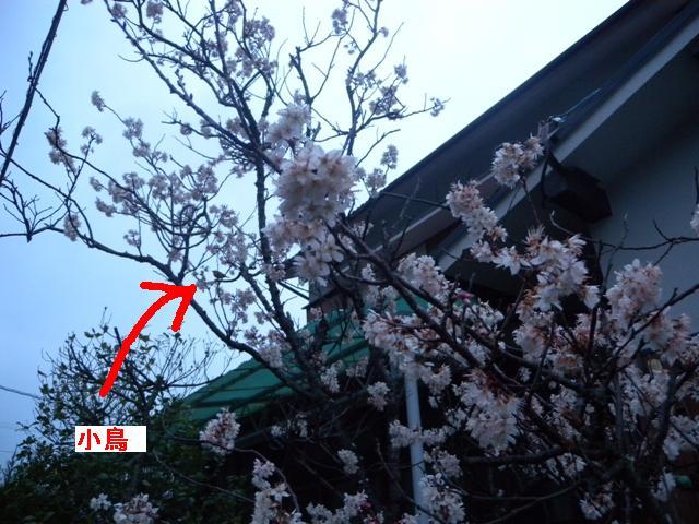 鳥が来ている桜