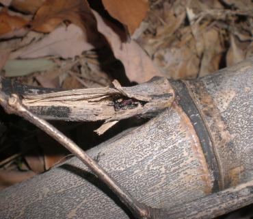ベニカミキリの成虫