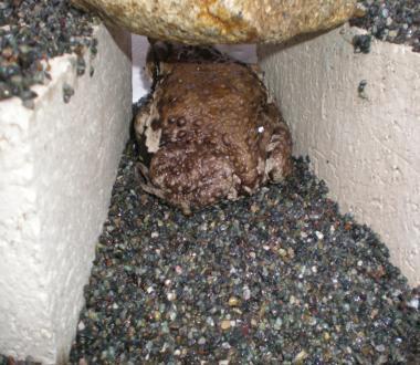 穴に入る、ヒキガエル