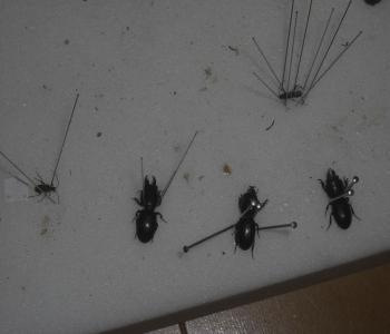 ヒョウタンゴミムシ