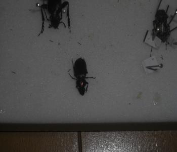 ルイスオオゴミムシ