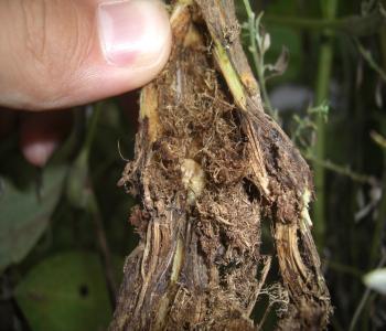 フェモラータオオモモブトハムシの幼虫