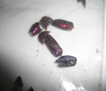 フェモラータオオモモブトハムシの残骸2