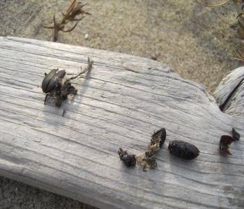 オサムシモドキの死骸