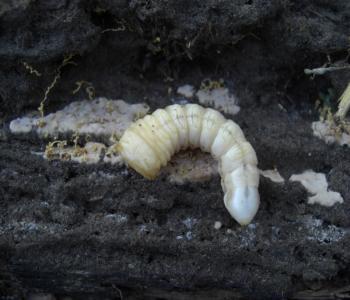 カミキリ幼虫1