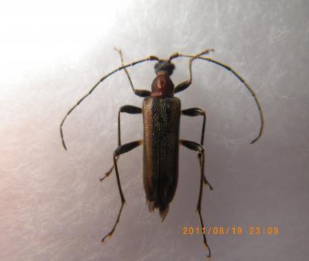 キベリクロヒメハナカミキリ
