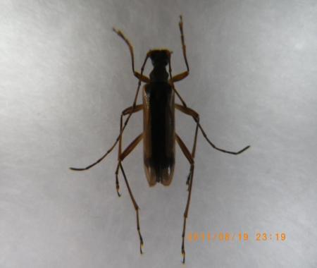 フイリヒメハナカミキリ
