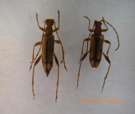 マツシタヒメハナカミキリ