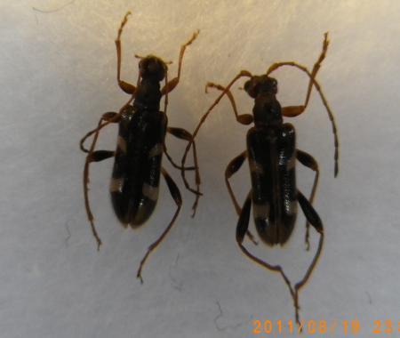 ニセフタオビヒメハナカミキリ