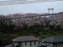 2009.4.5.桜1