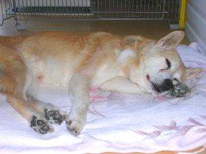 タロ(犬)寝姿