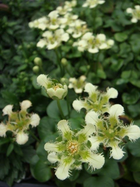 白髭梅鉢草