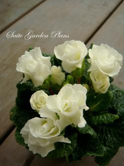 purimura+barazakisiro_convert_20110225164626.jpg