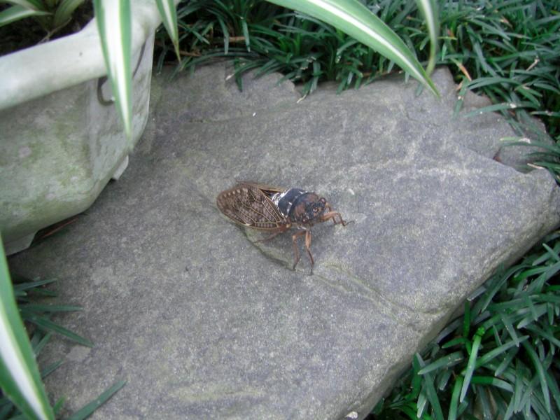 セミ2008年7月撮影