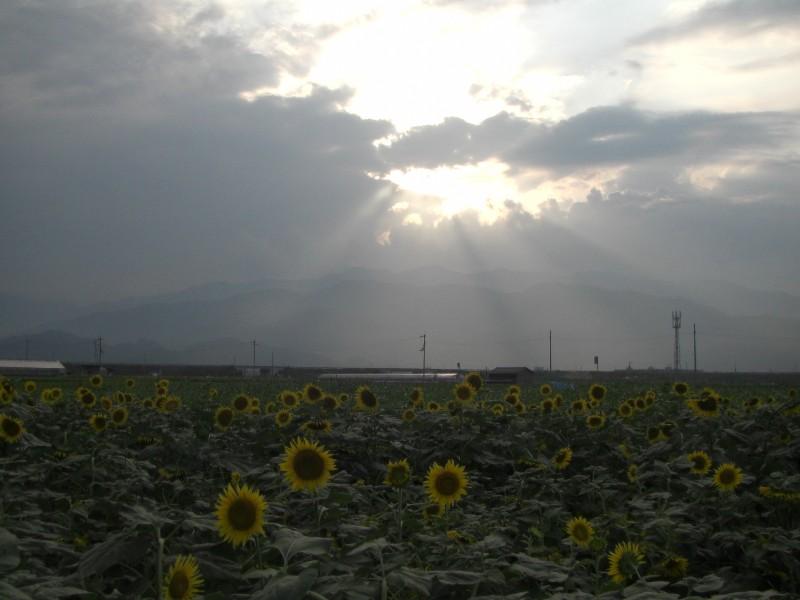 ひまわり畑2008年9月6日撮影