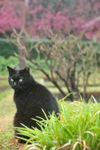 寒緋桜猫(黒猫)@日比谷公園