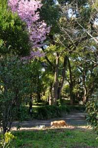 陽光桜猫(茶トラ猫)@日比谷公園