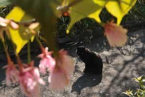 桜の花の間の黒猫