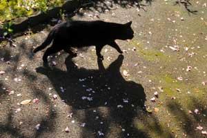 桜の花びらと黒猫